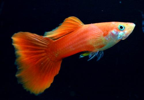 Гуппи ярко-красный (Guppy Red Scarlet)