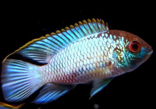 Наннакара голубая неоновая (Nannacara Neon Blue)
