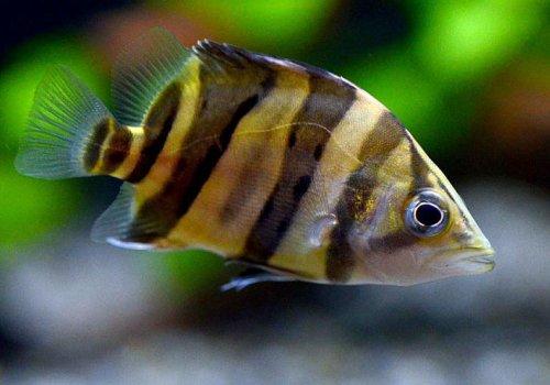 Индонезийский тигровый окунь (Datnioides microlepis)