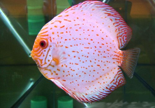 Дискус Бабочка белый (White Butterfly Discus)