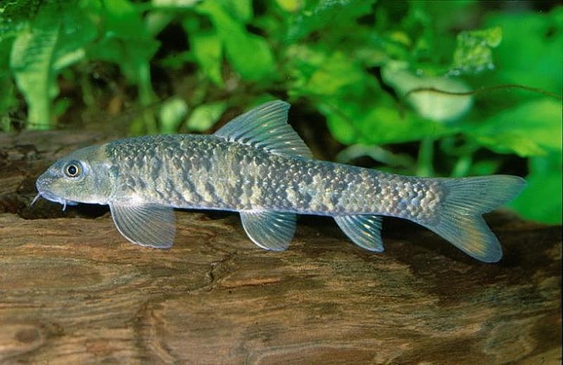 Рыбки гарра руфа в домашних условиях