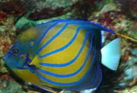 203_321_annularis_angelfish_bg