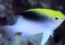 238-364-rolland-s-damselfish-b
