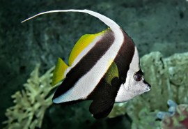 800px-Pennant_coralfish_melb_aquarium_edit2