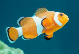 Amphiprion ocellaris-1