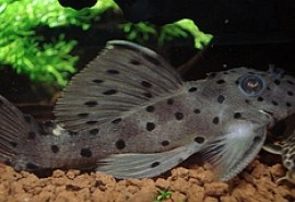 Spotted_L160_Pleco