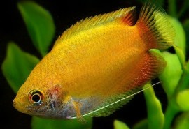 Trichogaster chuna Gourami-Honey Pygmy Gold8