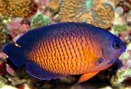 coral-beauty-angelfish