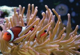 http---cmsdata.iucn.org-downloads-fact_sheet_red_list_clownfish_v2.pdf - Adobe Reader