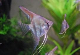 part_1_peru_altum_in_aquarium_-see-here1