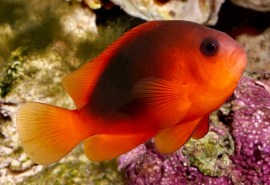 saddle tomato clownfish